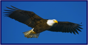 Soaring Bald Eagle